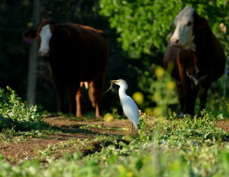 Cattle Egret (Bubulcus ibis) preys on a Lebanon Lizard (Phoenicolacerta laevis) in the Lower Galilee March 2017