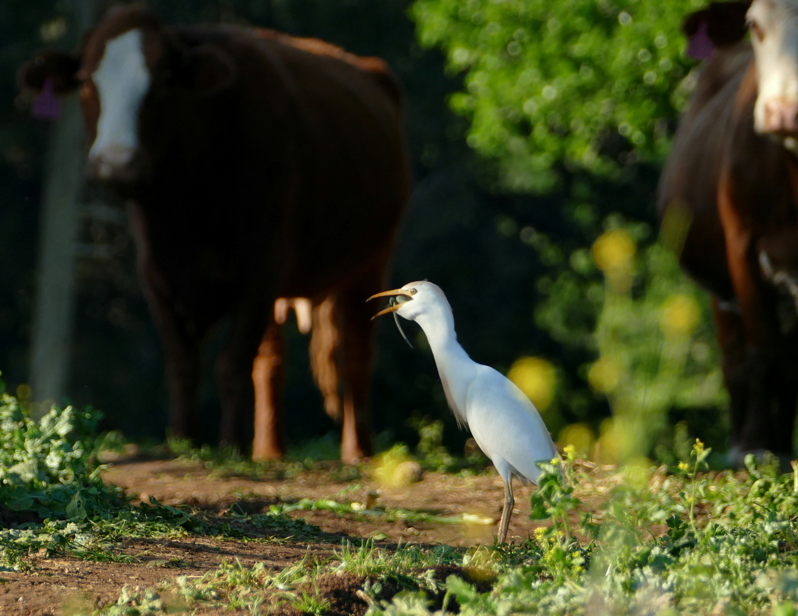 Cattle Egret (Bubulcus ibis) preys on a Lebanon Lizard (Phoenicolacerta laevis) in the Lower Galilee March 2017_
