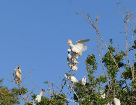 Cattle Egret Nesting Colony in the Lower Galillee (Sakhnin) April 2018