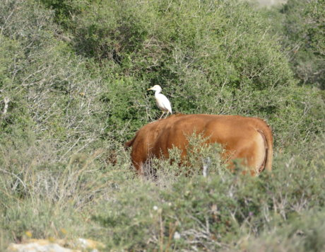 Cattle Egret foraging from the back of a cow, Ramat Hanadiv April 2018
