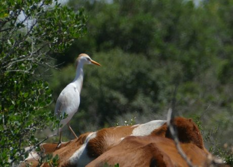 Cattle Egret foraging from the back of a cow, Ramat Hanadiv May 2017