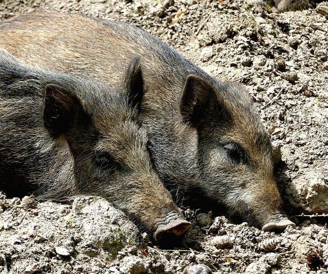 wild-boar-3046246_640