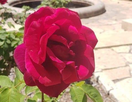 ורד הברון רוטשילד