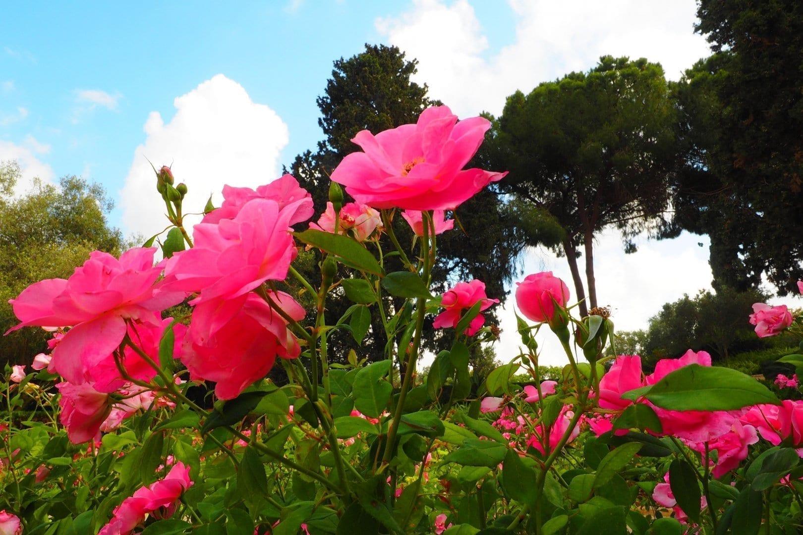 ורדים פורחים בגן