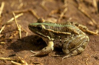 צפרדע נחלים Pelophylax bedriagae