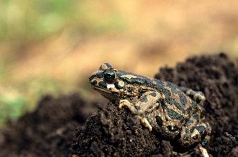 קרפדה ירוקה Pseudepidalea variabilis 2