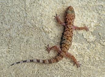 שממית בתים Hemidactylus turcicus