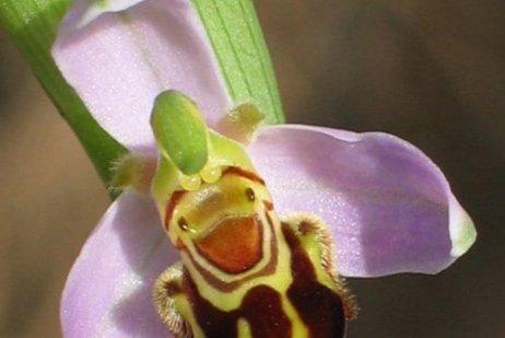 דבורנית הדבורה