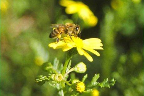 דבורת הדבש