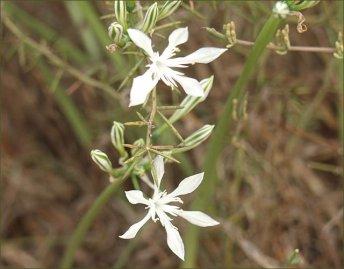 חבצלת קטנת פרחים
