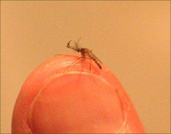 יתוש - כולכית הבית