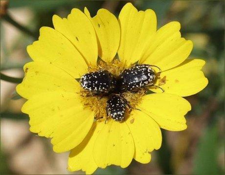 פרחית אביגיל