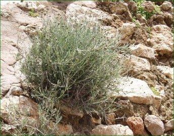 צמרנית סלעים