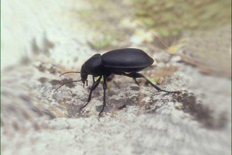 חיפושית רצה סגלגלה