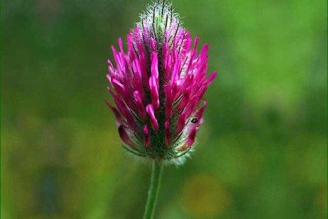 פרח תלתן הארגמן