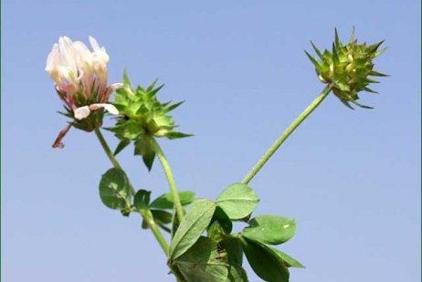 צמח תלתן תריסני