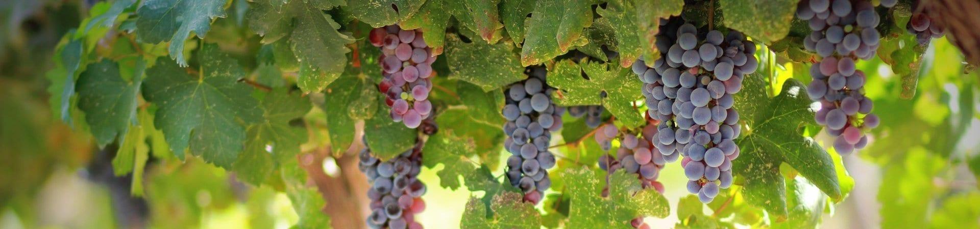 grapes-1844745_1920-aspect-ratio-x
