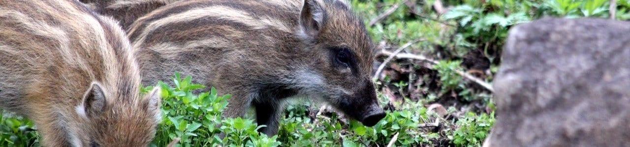 wild-boar-3415181_1280-aspect-ratio-x