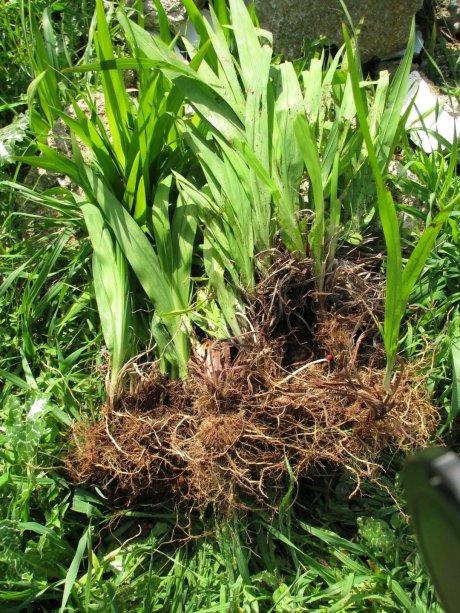 צמח הפולש קורקוסמיה (2)