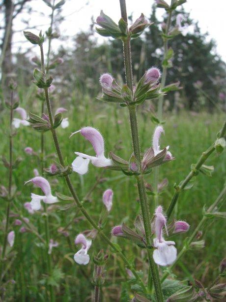 Salvia eigii Zohary
