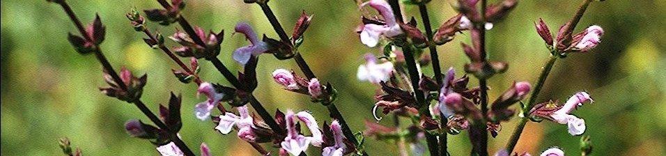 Salvia-eigii-Zohary2-aspect-ratio-x