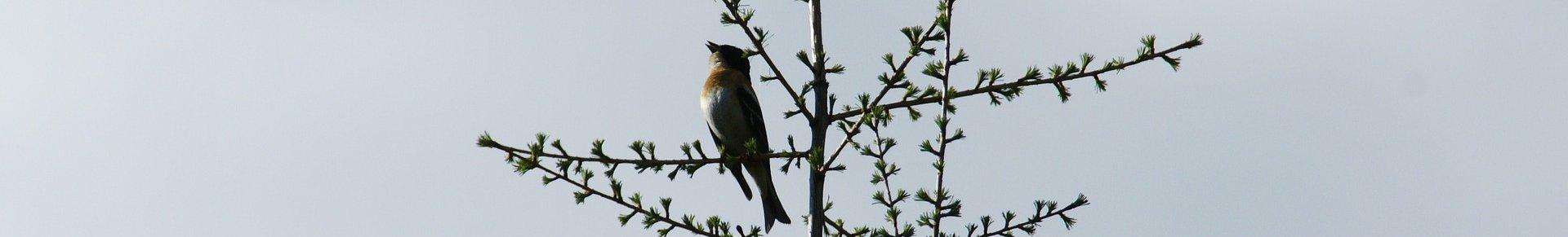 nightingale-752179_1920-aspect-ratio-192x29.1