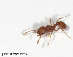 small-red-ant-4-aspect-ratio-46x35.6