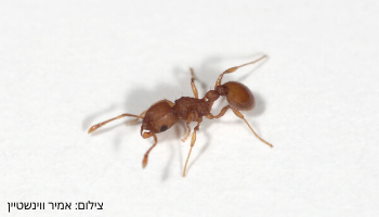 small red ant (4)