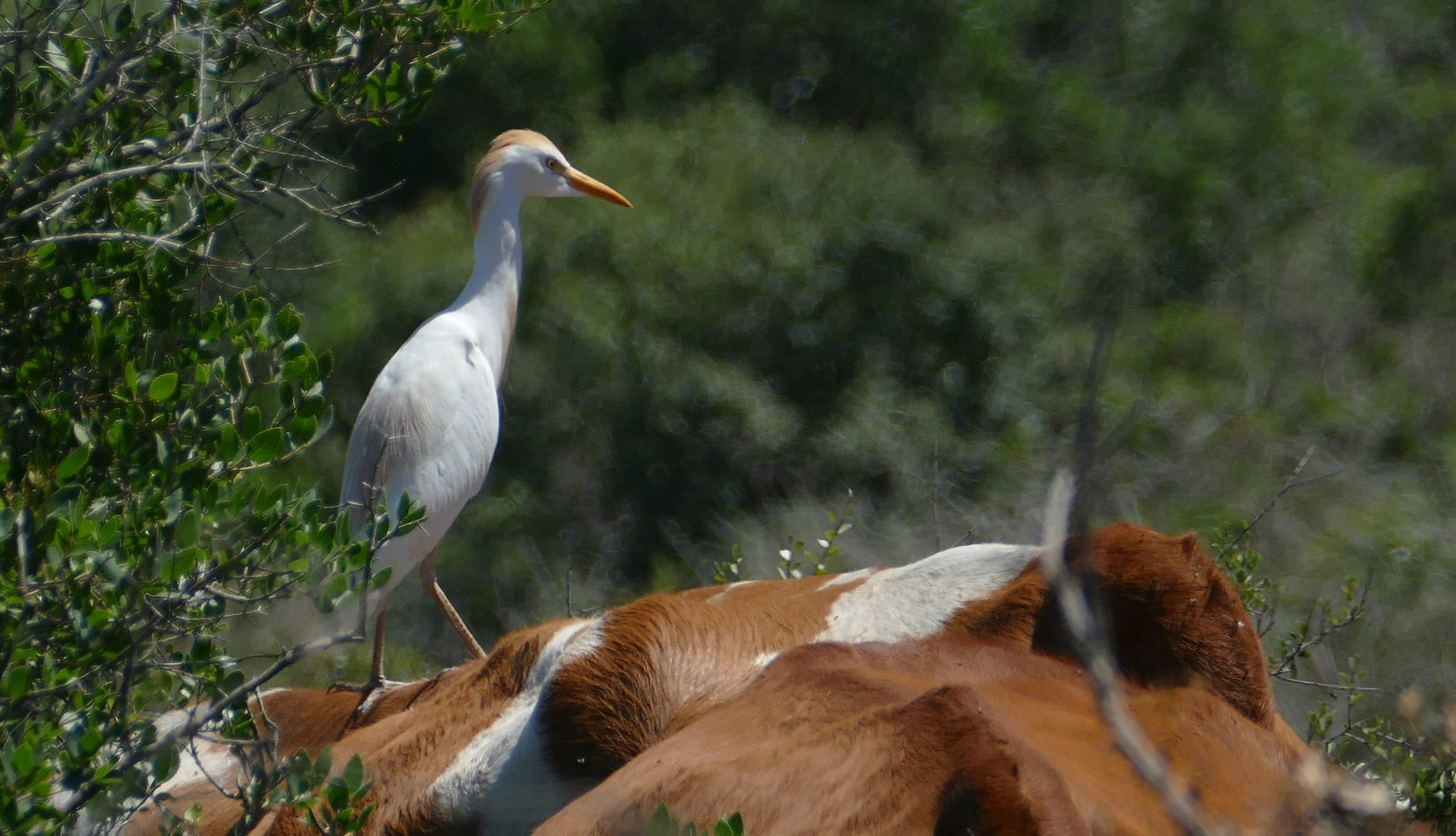 Cattle-Egret-foraging-from-the-back-of-a-cow-Ramat-Hanadiv-May-2017-aspect-ratio-x