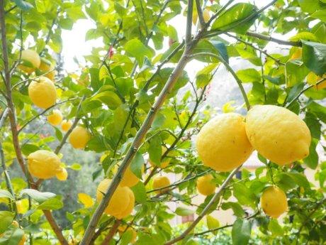 lemon-1117565_1280