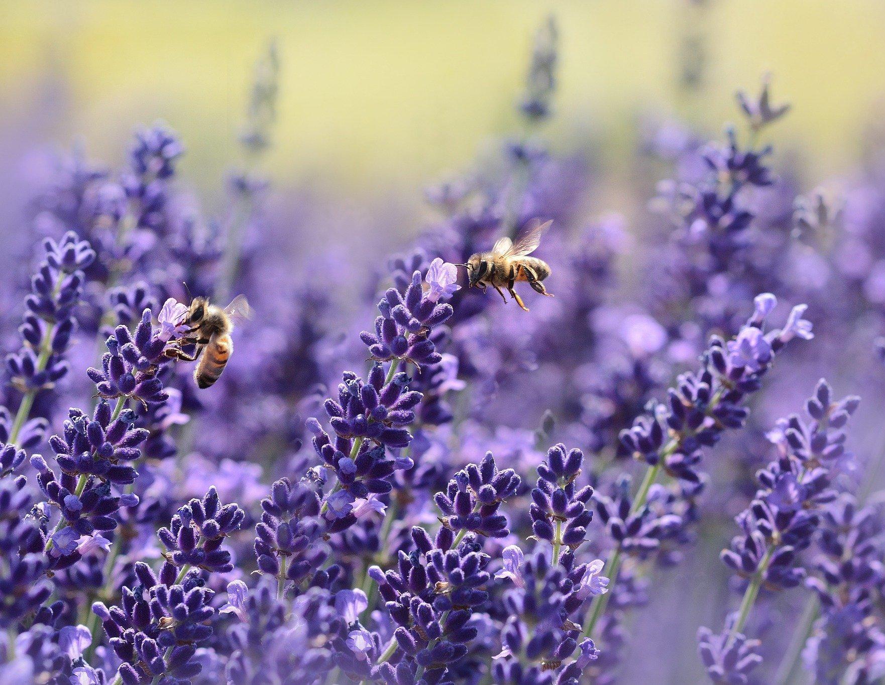 lavenders-1537694_1920-aspect-ratio-46x35.6