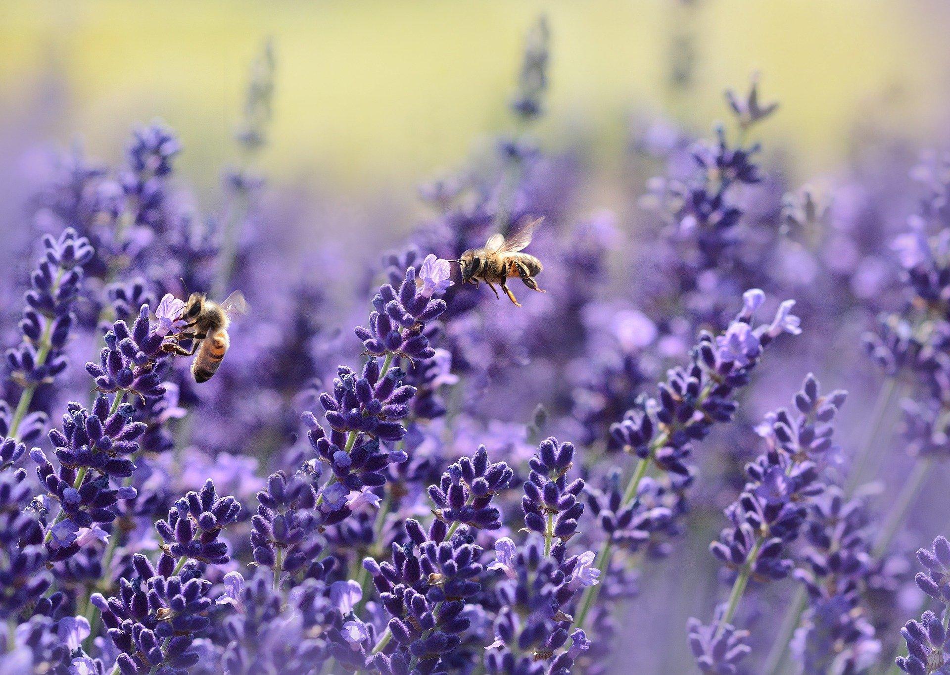 lavenders-1537694_1920