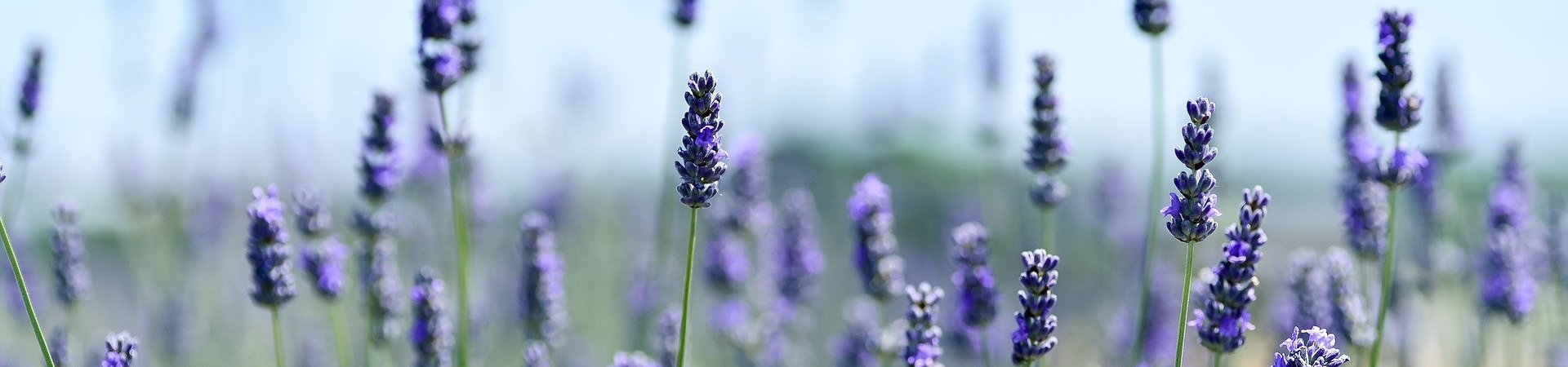 lavender-3490599_1920-aspect-ratio-x